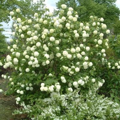Viburnum op. 'Roseum' – Labdarózsa